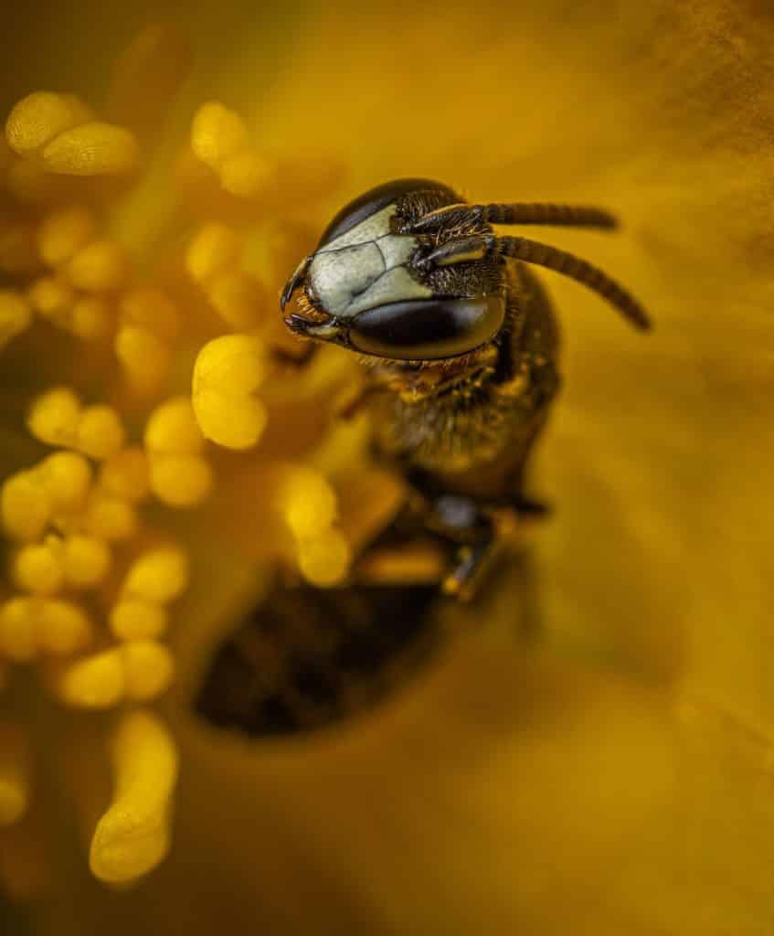 Biene zum Beitrag Pheromon - Sie riechen dich